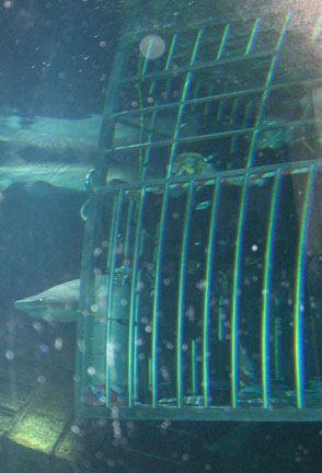Our Shark Dive cage, with us inside, at the bottom of the Lost City of Atlantis Shark Exhibit at Atlantis Marine World / Long Island Aquarium and Exhibition Center